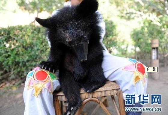云南省西双版纳一处野生动物公园内提供的一头供人合影的小熊(2009年